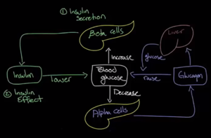 A simple diagram of how the blood glucose system operates in the body.