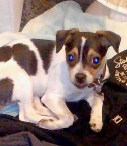 Lola is a cute little dog.