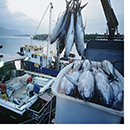 Crate of fish on a docked boat