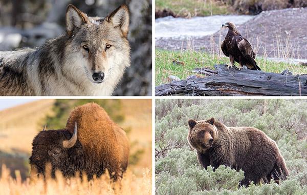 Wolves, Bison, Eagles, Bears