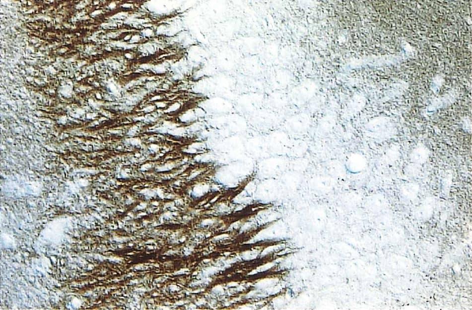 ラット海馬のCA3域。楔状細胞を覆う、Syntaxin陽性の軸索ターミナル。40μm切片、400×