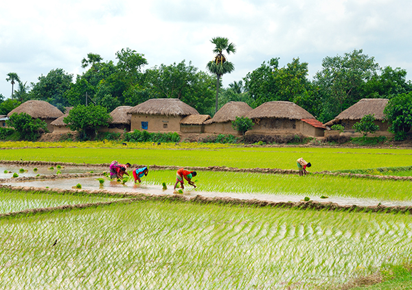 Farmers in paddy field in India