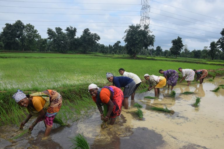Women bending over in a paddy field
