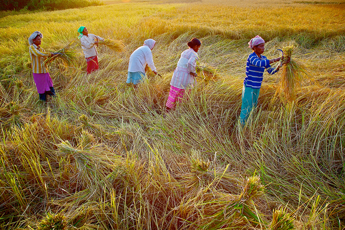 Five women in India harvesting with sun low in the sky.