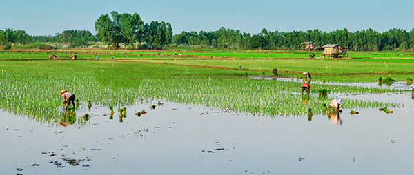 A wide angle picture of people working in a rice paddy.