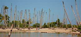 dead coconut trees
