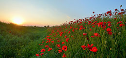 Poppy field at dawn
