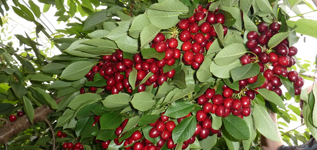 Ried Fruit Taz_cluster