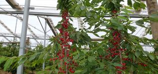 Abundant Cherries