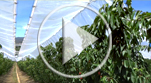 Video_30% Fruit abortion
